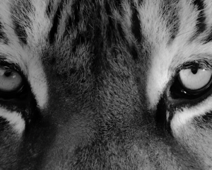 """국립중앙박물관 """"Tiger"""""""