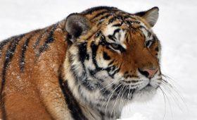 국립중앙박물관 [Tiger] 전시영상